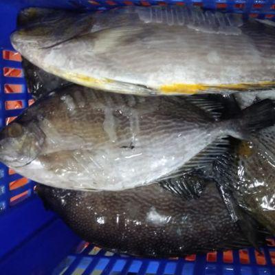 Rabbit Fish (Siganidae)