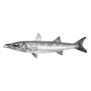 Barracuda (Sphyraena Jello)