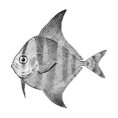 Black Pomfret (Parastromateus Niger)