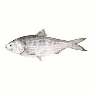 Hilsa (Tenualosa Ilisha)