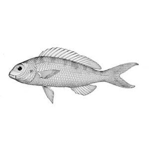 Japanese Threadfin (Nemipterus Japonicus)