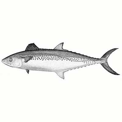 King Fish (Scomberomorus Guttatus)