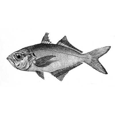 Kuthippu (Whitefish) (Lactarius Lactarius)