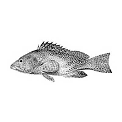 Reef Cod (Epinephelus Chlorostigma)