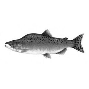 Salmon (Oncorhynchus Gorbuscha)