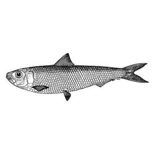 Sardine (Sardinella Longiceps)