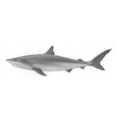 Shark (Chondrichthyes)