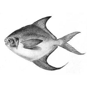 Silver Pomfret (Pampus Argenteus)