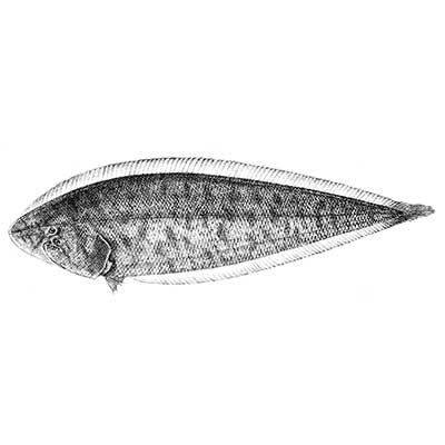 Sole Fish (Paraplagusia Bilineta)