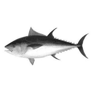 Tuna (Thunnus)