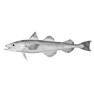 White Fish (Theragra Chalcogramma)