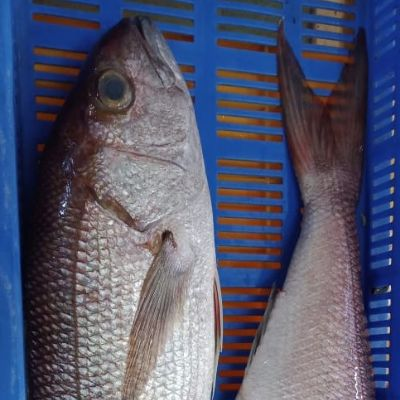 Crimson Jobfish (Pristipomoides Filamentosus)