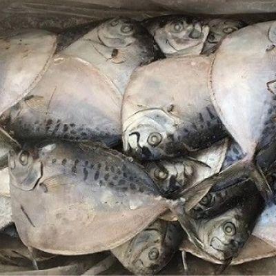 Moon Fish (Mene Maculata)
