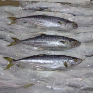 Seer Fish (Scomberomorus Commerson)